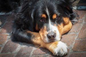 dog allergy treatment